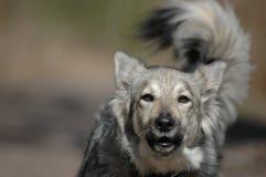 серый цвет собаки лаять Стоковое Изображение RF