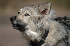 серый цвет собаки лаять Стоковая Фотография RF