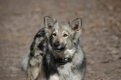 серый цвет собаки лаять Стоковое фото RF