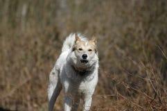серый цвет собаки лаять стоковые фото