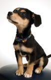 серый цвет собаки стула шикарный Стоковая Фотография