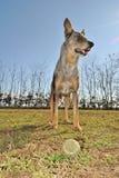 серый цвет собаки Стоковые Изображения