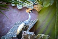 Серый цвет увенчал кран на парке Maspalomas Palmitos, Gran Canaria, Испании Стоковое Фото