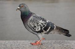 Серый цвет улицы голубя близкий поднимающий вверх одичалый свободный оперяется птица стоковое фото