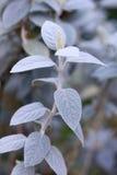 серый цвет barleria albostellata стоковая фотография rf
