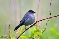 серый цвет catbird Стоковая Фотография RF