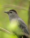 серый цвет catbird Стоковые Изображения