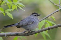 серый цвет catbird Стоковое Фото