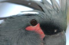 серый цвет cockatoo Стоковое Фото