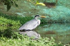 Серый цвет Egret Стоковое Изображение RF