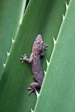 серый цвет gecko стоковые фотографии rf