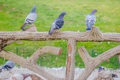 3 серый цвет Pidgeons Стоковая Фотография