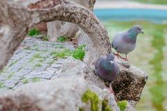 2 серый цвет Pidgeons Стоковая Фотография