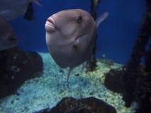 Серый цвет Triggerfish Стоковая Фотография RF