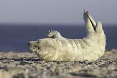 Серый щенок уплотнения Стоковая Фотография