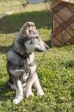 Серый щенок Стоковое Фото
