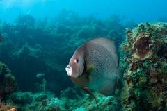 Серый Angelfish Стоковое Изображение