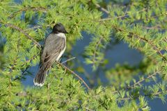 Серый Catbird Стоковые Фото