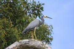Серый egret Стоковое Изображение