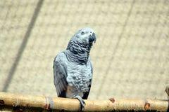 Серый Erithacus Psittacus попугая сидя на окуне стоковые фотографии rf