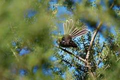 Серый Fantail - albiscapa Rhipidura - малая насекомоядная птица Это общий fantail найденный в Австралии за исключением западной п Стоковые Изображения RF
