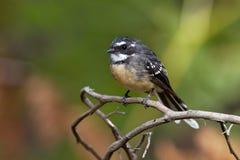Серый Fantail - albiscapa Rhipidura - малая насекомоядная птица Это общий fantail найденный в Австралии за исключением западной п Стоковые Фото