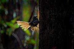 Серый Fantail - albiscapa Rhipidura - малая насекомоядная птица Это общий fantail найденный в Австралии за исключением западной п Стоковая Фотография