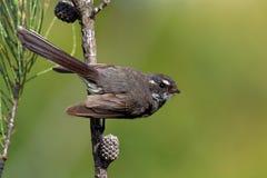 Серый Fantail - albiscapa Rhipidura - малая насекомоядная птица Это общий fantail найденный в Австралии за исключением западной п Стоковая Фотография RF