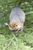Серый Fox в дереве Стоковое фото RF