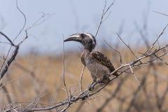 серый hornbill стоковая фотография