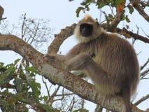Серый Langur в дереве стоковое фото rf