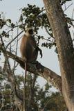 Серый Langur на Bandipur NP стоковое фото
