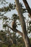 Серый Langur сидя в дереве стоковое изображение rf