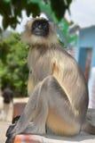 Серый langur, monkey4 Стоковые Фотографии RF