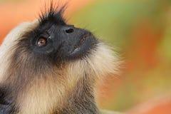 Серый langur, monkey2 стоковое изображение rf