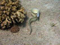 серый moray Стоковые Изображения RF