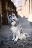 серый samoyed Стоковые Фото