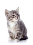 Серый striped котенок сидит Стоковое Изображение