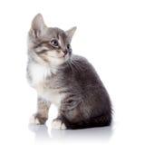 Серый striped котенок сидит Стоковые Изображения RF