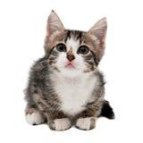 Серый striped котенок с унылой гримасой Стоковые Изображения