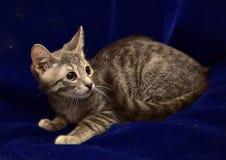 Серый striped котенок Стоковые Изображения