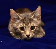 Серый striped котенок Стоковое Изображение RF