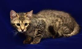 Серый striped котенок Стоковые Фотографии RF