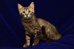 Серый striped котенок Стоковое Фото