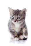 Серый striped котенок. Стоковая Фотография