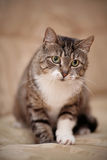 Серый striped кот с зелеными глазами и белой лапкой Стоковые Изображения