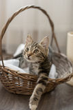 Серый striped дом кота шаловливый милый Стоковое фото RF