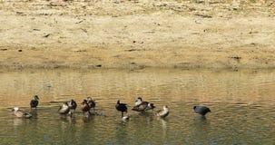 Серый Teal, Anas gracilis с простофилей и Teal 4K каштана сток-видео