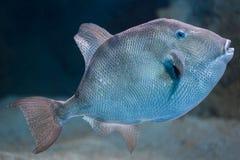 Серый triggerfish & x28; Capriscus& x29 Balistes; Стоковая Фотография