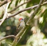 серый woodpecker Стоковое Изображение RF